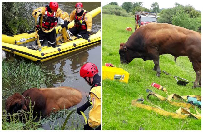The bull being rescued from the river. Picture: Malton Fire Station Twitter