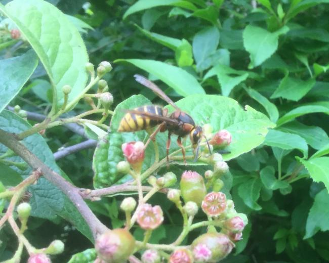 European hornet on the Cotoneaster in Mike Bagshaw's garden