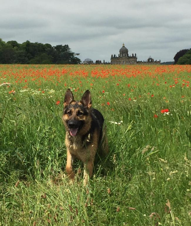 A field of poppies with Castle Howard in the background     Picture: Debbie Sadler