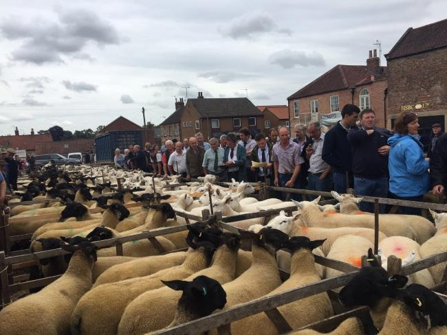 Malton's early show and sale of breeding sheep   Picture: Malton Livestock Auctioneers