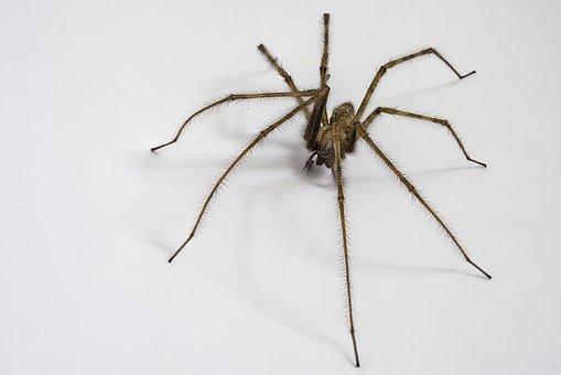 Male house spiders go walkabout this time of year in search of females