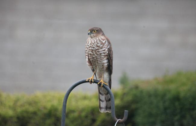 Sparrow hawk in a garden in Leavening   Picture: Peter Moore