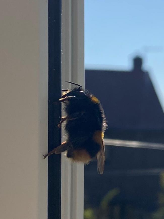 The bumble bee that has been visiting Sarah Walker, basking in the sun of her window frame