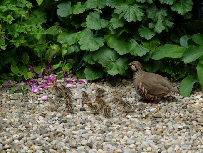 A partridge and12 chicks by Julie Lee