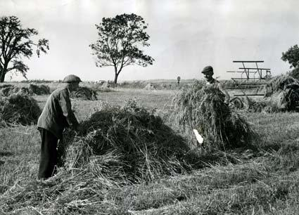 Sept 1, 1965. A sight not often seen with so much automation in farming these days is that of harvesting by hand in the old traditional manner. Mr F Allen, right, of Scrayingham, near York, and Mr W Holmes are stooking the oats in front of the old binder
