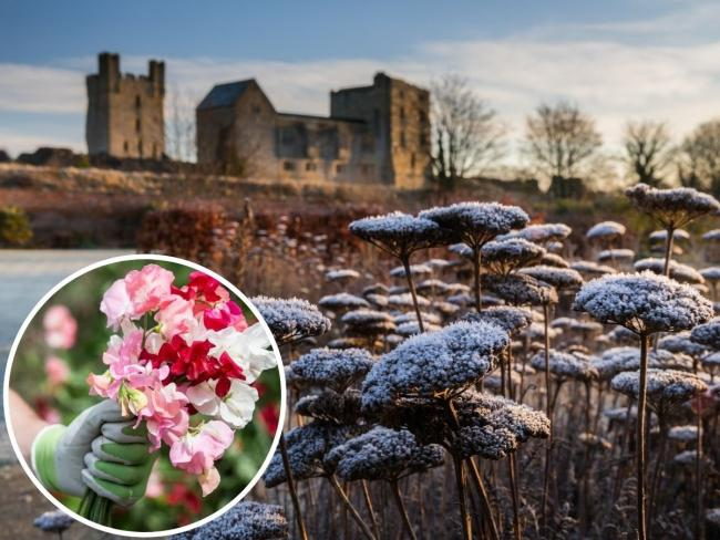 Frost at Helmsley Walled Garden adds to the beauty of surrounding Picture: Colin Dilcock and insert the beauty of Sweet Peas