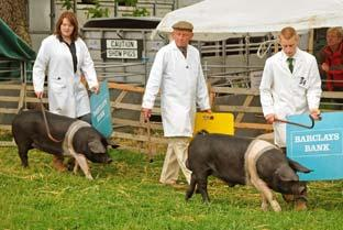 Judging taking place in the pig arena.