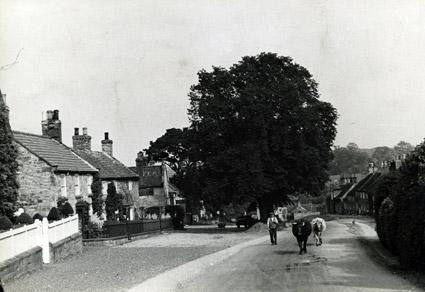 A farmer and his cows in the street at Coxwold, taken in 1936.
