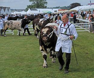 Cattle ring at the Great Yorkshire Show.