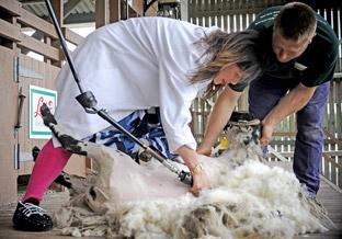 TV presenter Kirstie Allsopp gets to grips with some sheep shearing.