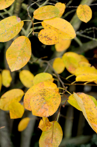 Leaves of the Amelanchier