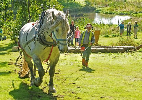 Chris Wadsworth with his Percheron horse moving logs at the festival