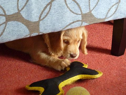 Nine-week-old Emmy, one of Hearing Dogs' latest recruits