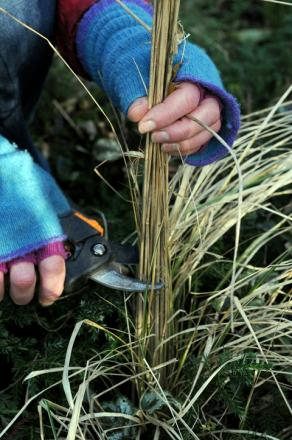 Cutting back grasses in the garden