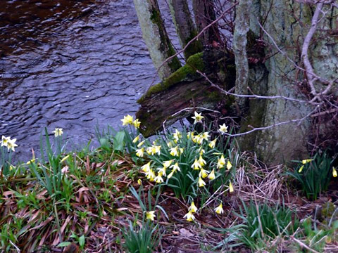 The wild daffodils of Farndale, which draw in thousands of visitors each year