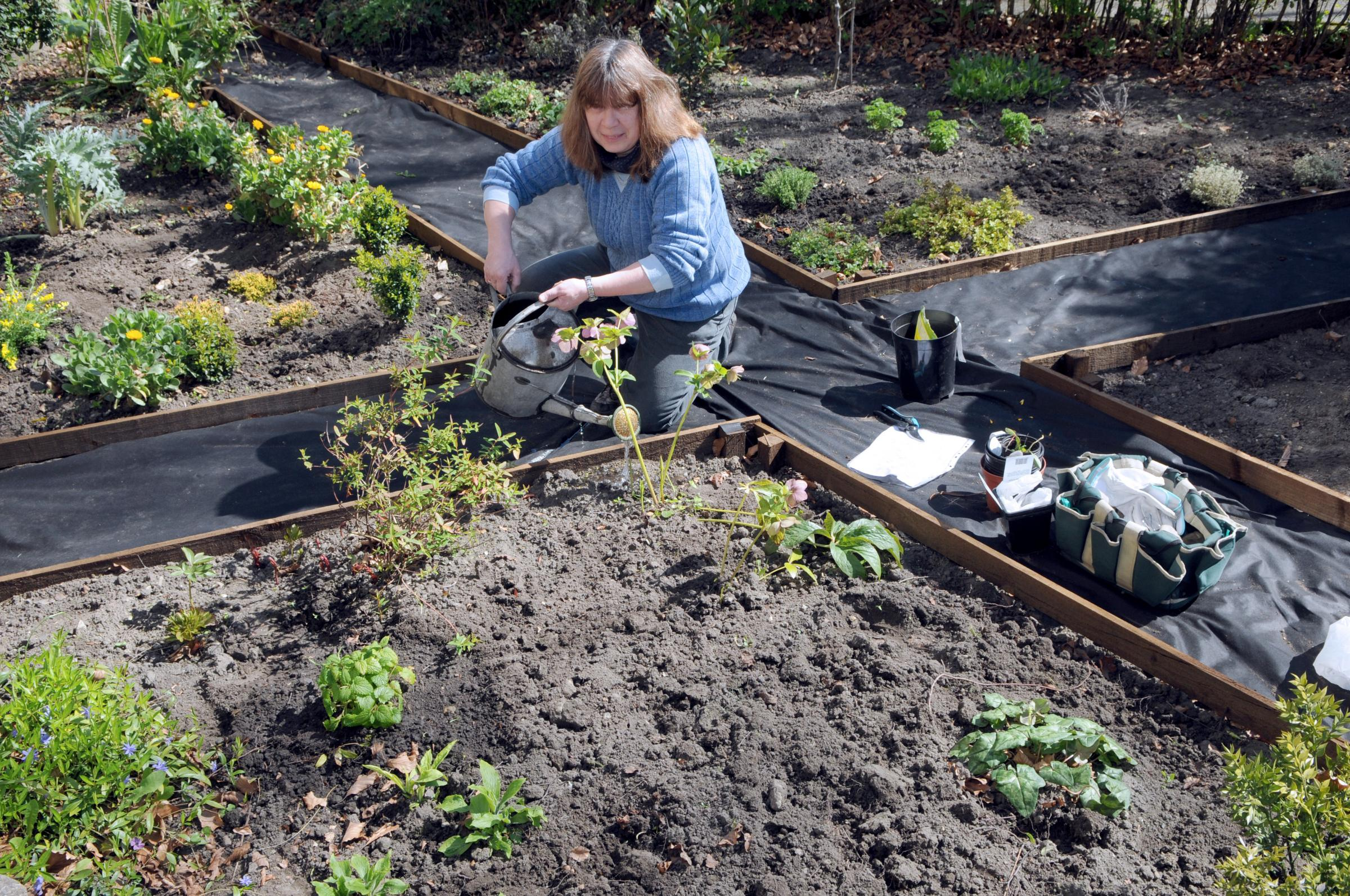 Cheryl Crick watering the herb garden at Beck Isle Museum in Pickering.