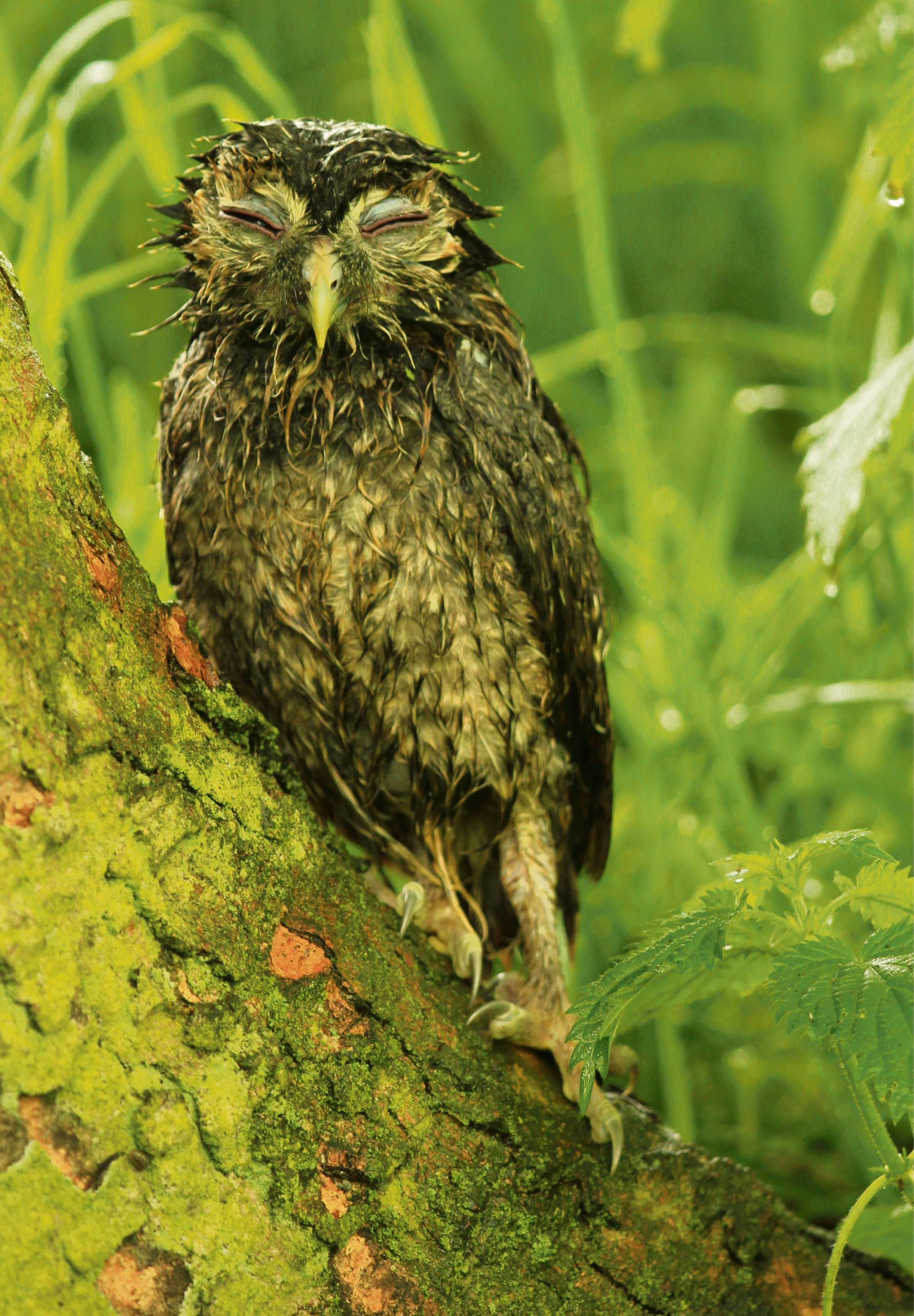 PICTURE: Tawny owl in need of a towel!