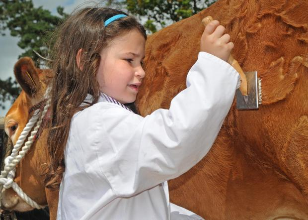 Gazette & Herald: A youngster grooms Lily the Limousin heifer before taking her into the show ring