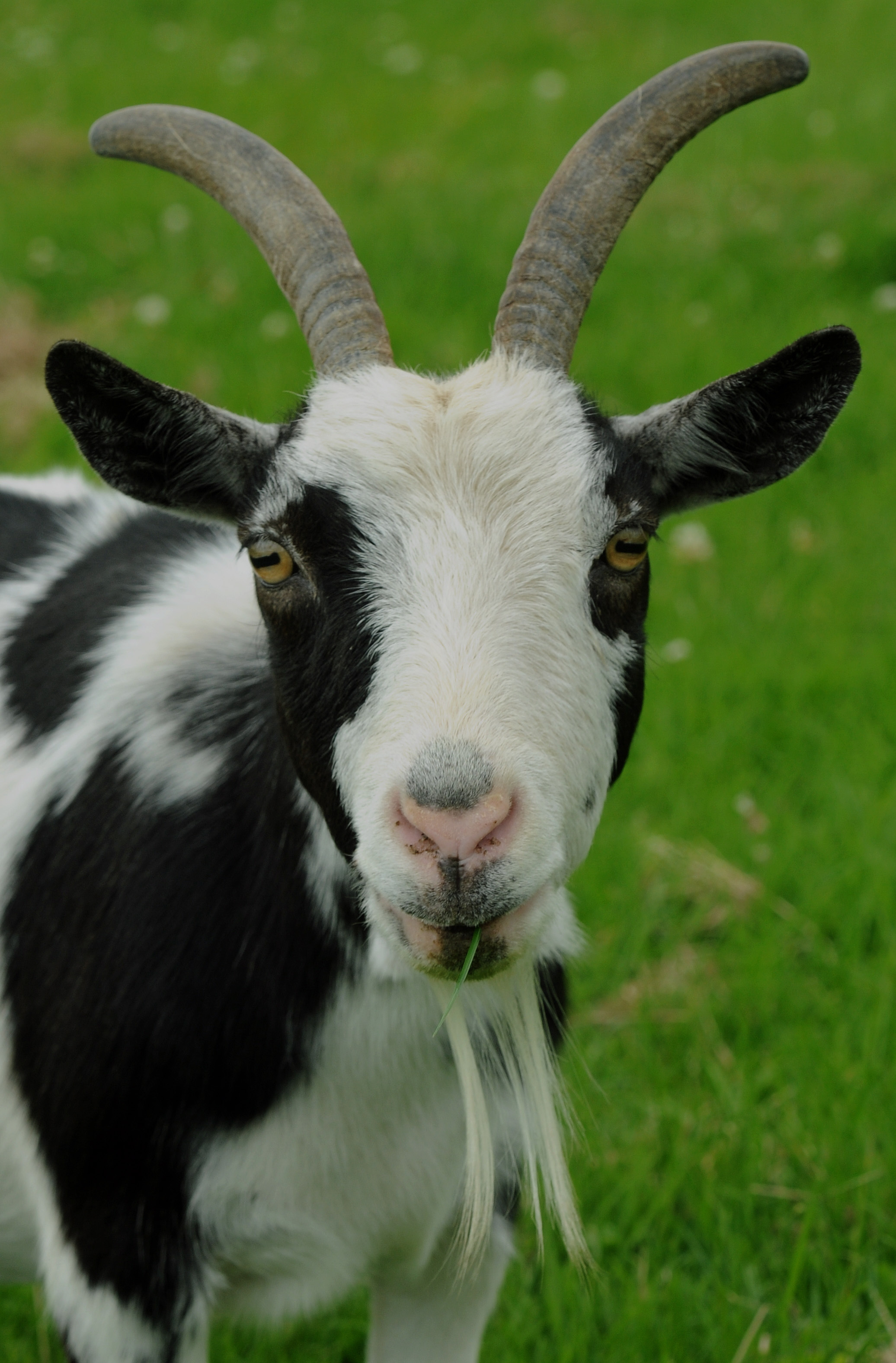 Is Daisy Yorkshire's oldest goat?