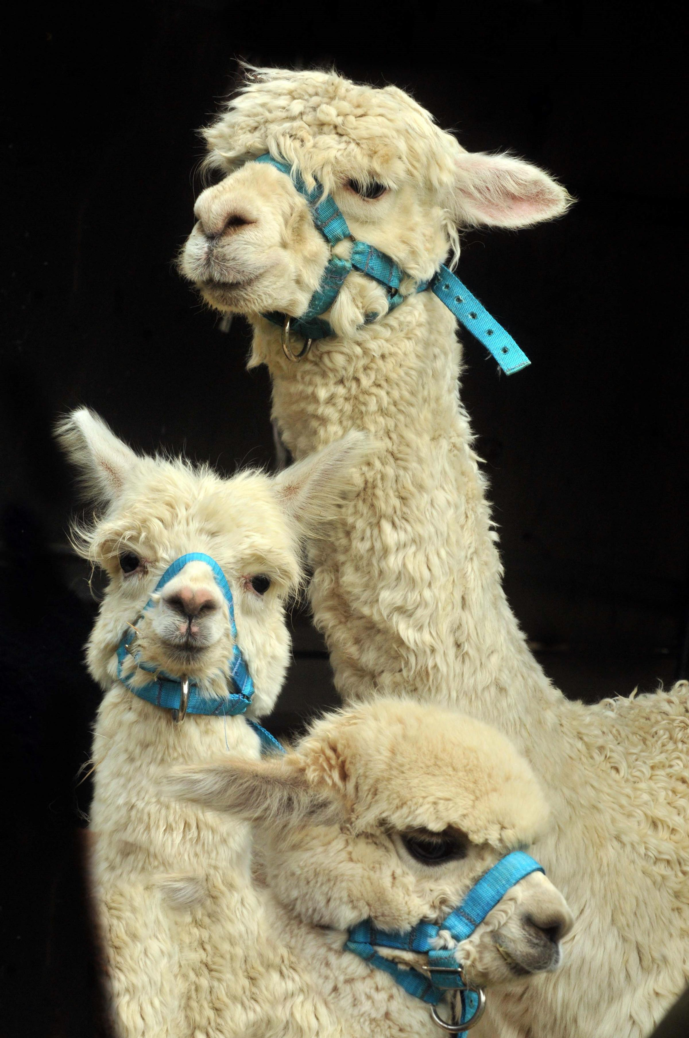 Alpacas pack in crowds at Farndale Show