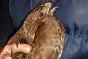 The buzzard was found in the Sledmere Estate
