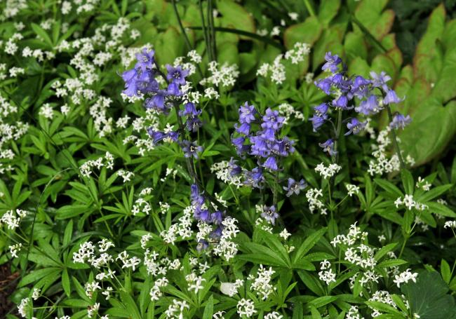 Galium odoratum, or sweet woodruff, and bluebells in Gina's garden