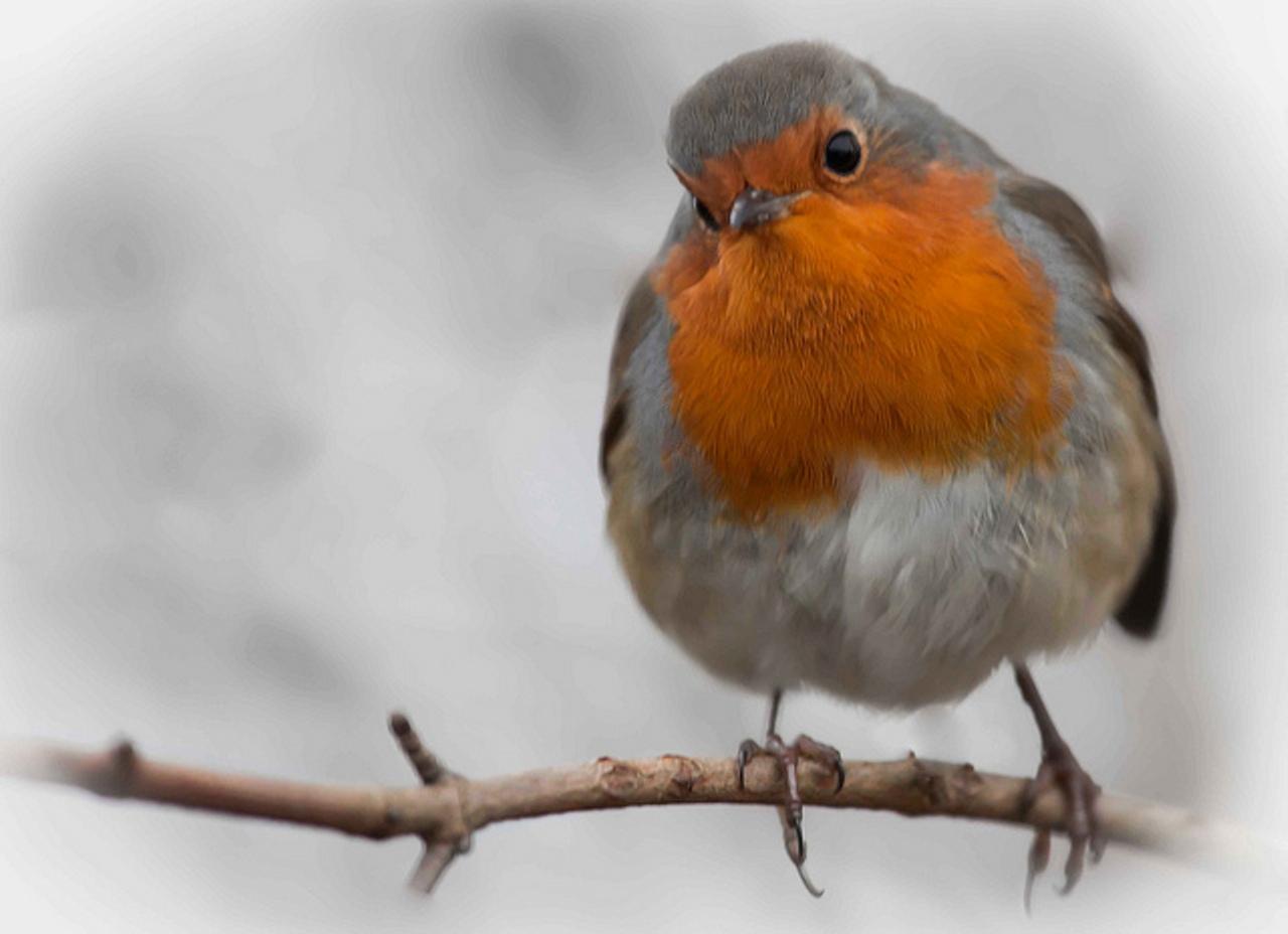 Red Alert For Robin Superstitions Gazette Herald