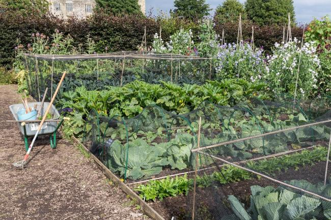 Kitchen garden at Helmsley Walled Garden with net-covered cabbages