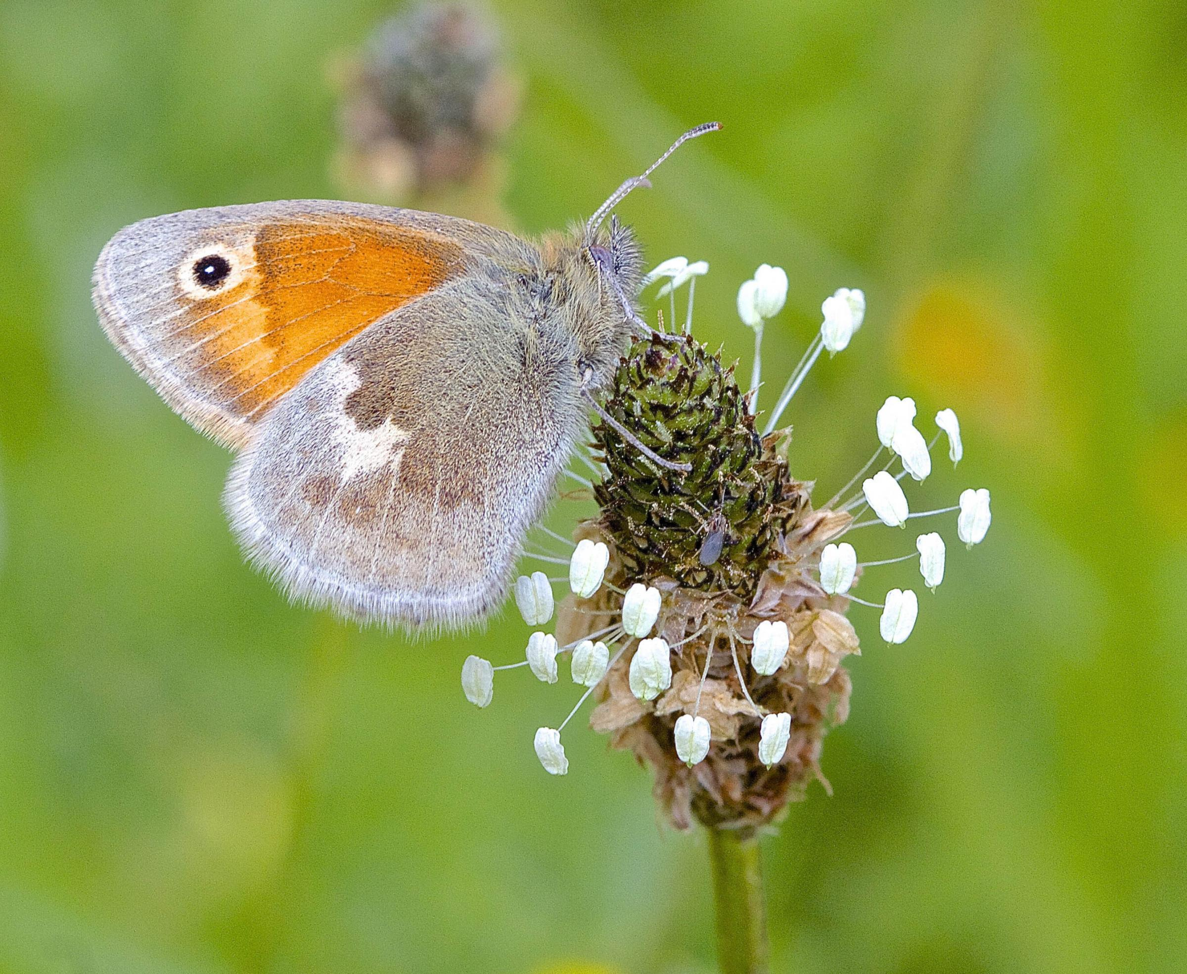 A butterflies are declining more dramatically in towns and cities than in the countryside