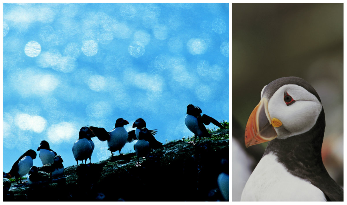 Puffins. Pictures: RSPB