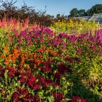Gazette & Herald: Dahlias and perennials help bring colour to the hot border at Helmsley Walled Garden