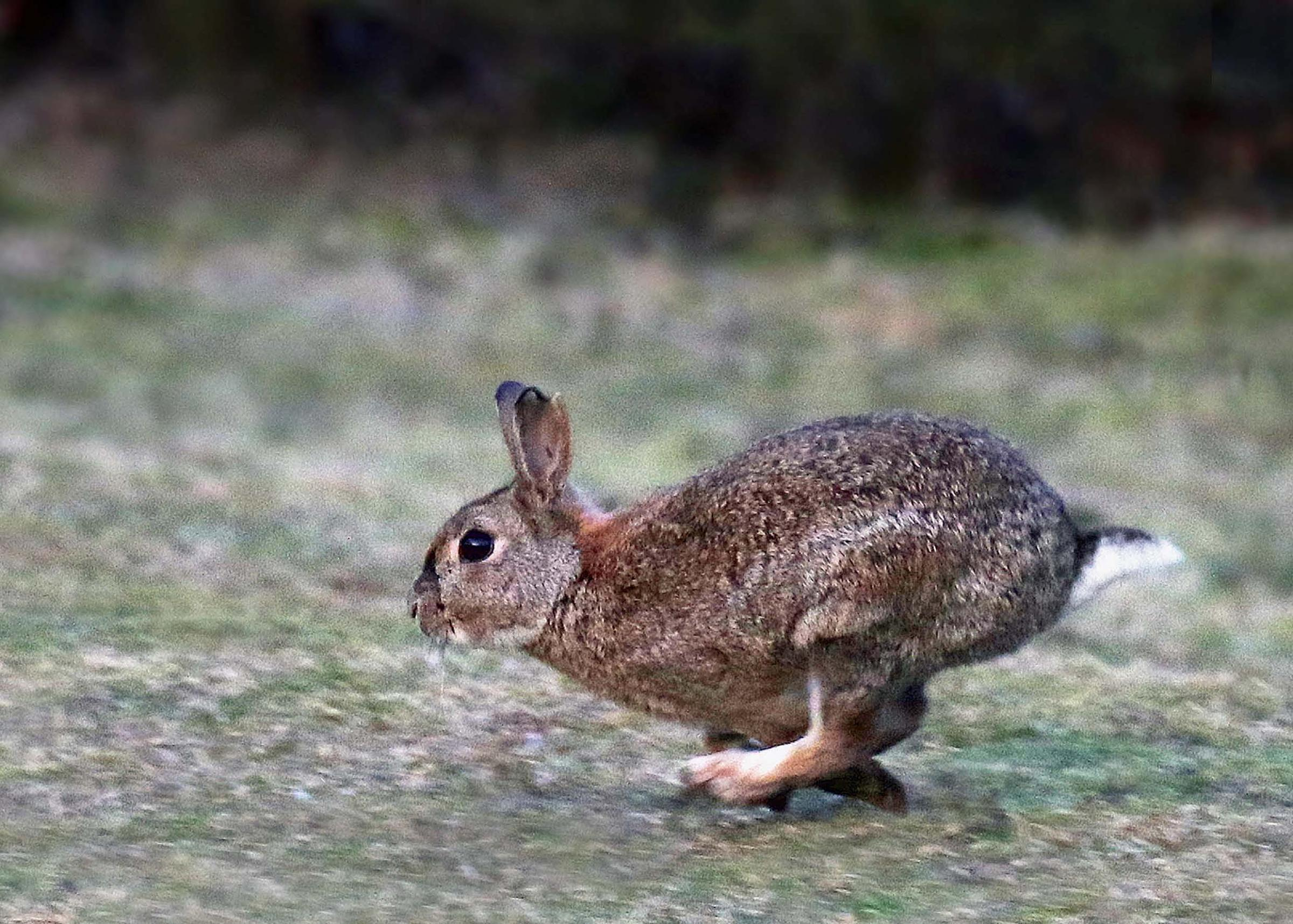 A rabbit in full gallop. One of the many wild animals and birds which often become roadkill