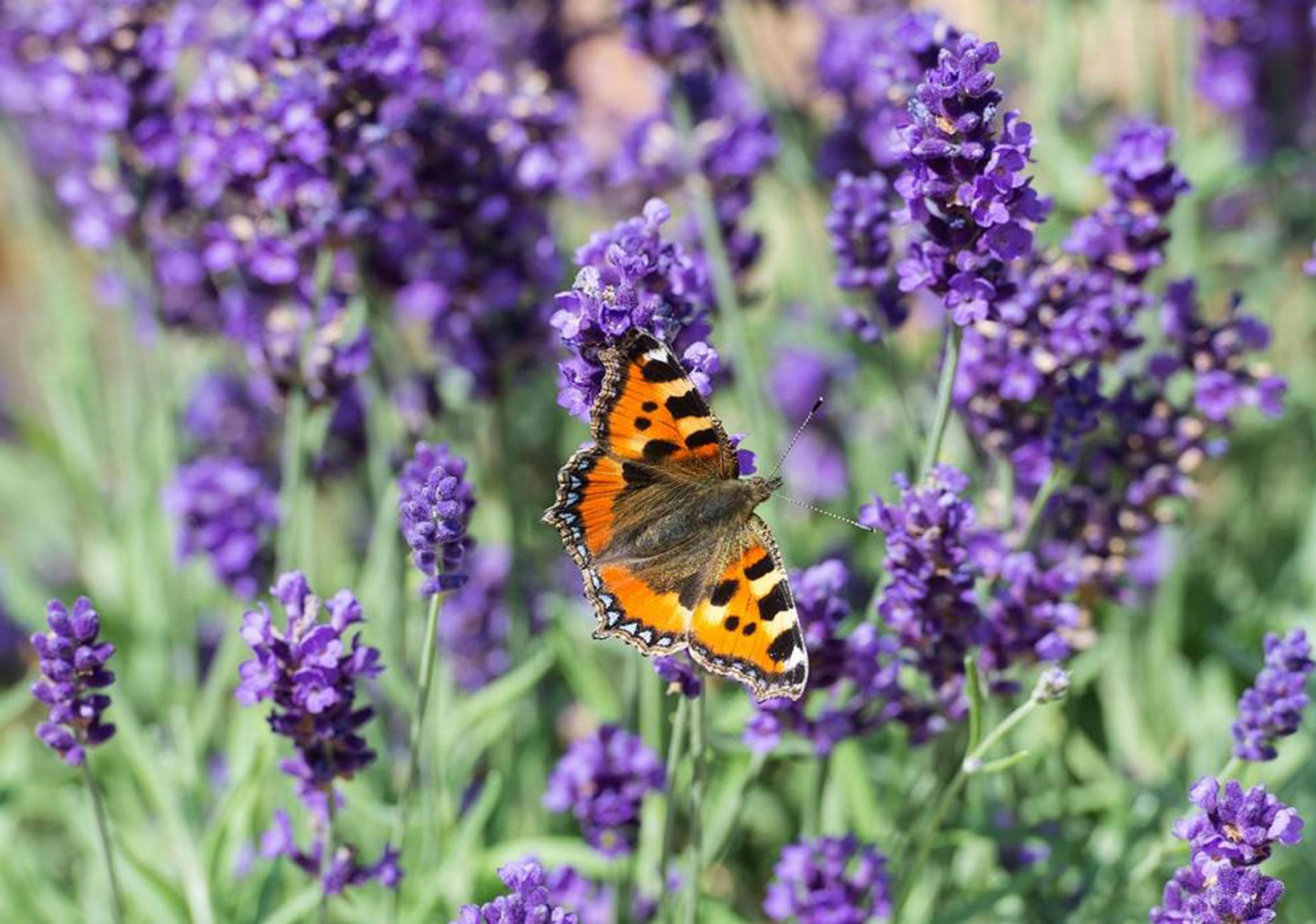 Lavender was used in medieval times to scent linen, keep moths from woollens, relieve the symptoms of colds and aid insomnia, all ways in which we still use lavender today