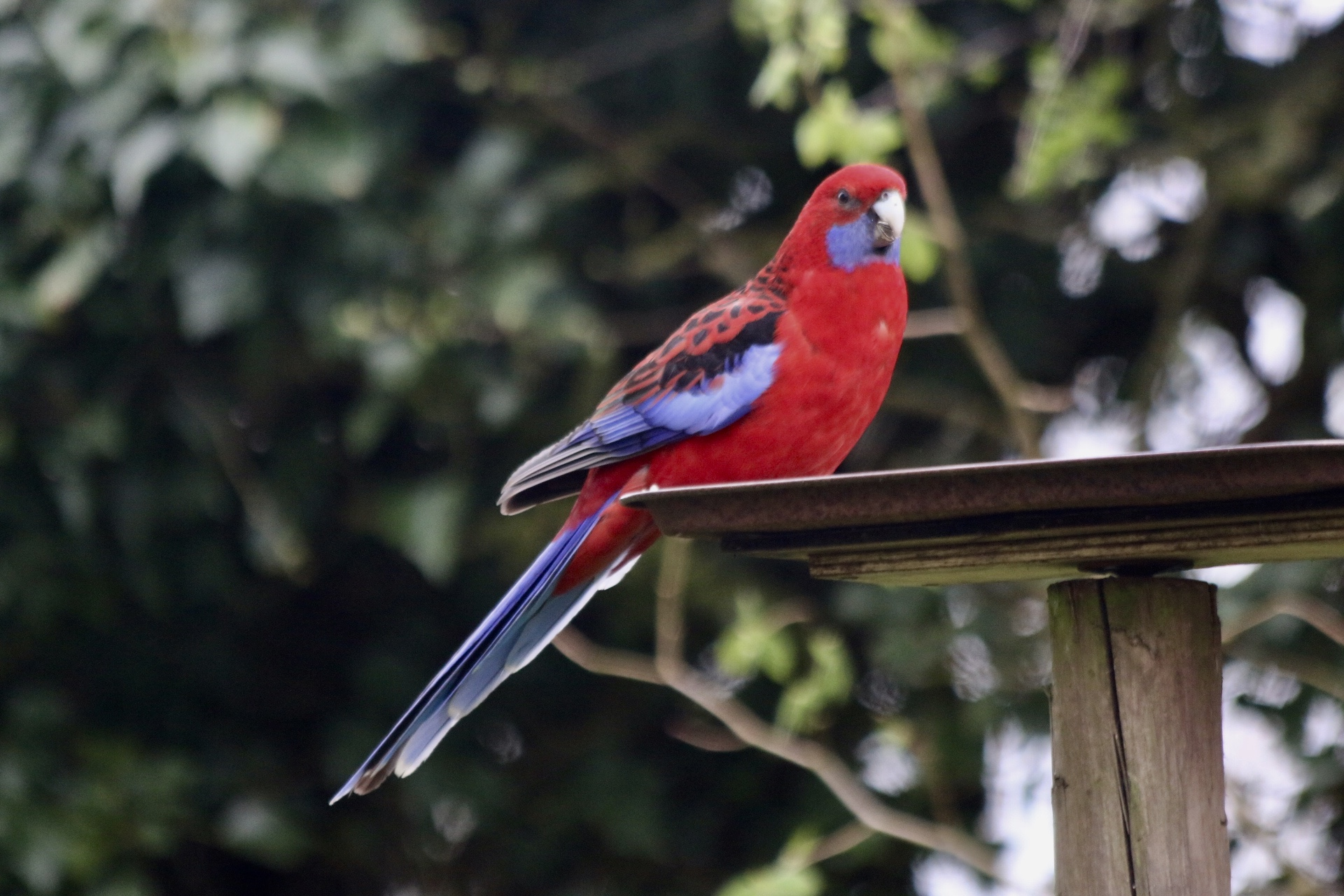 Parrot spotted in a garden in Lockton. Picture: Colin Culley