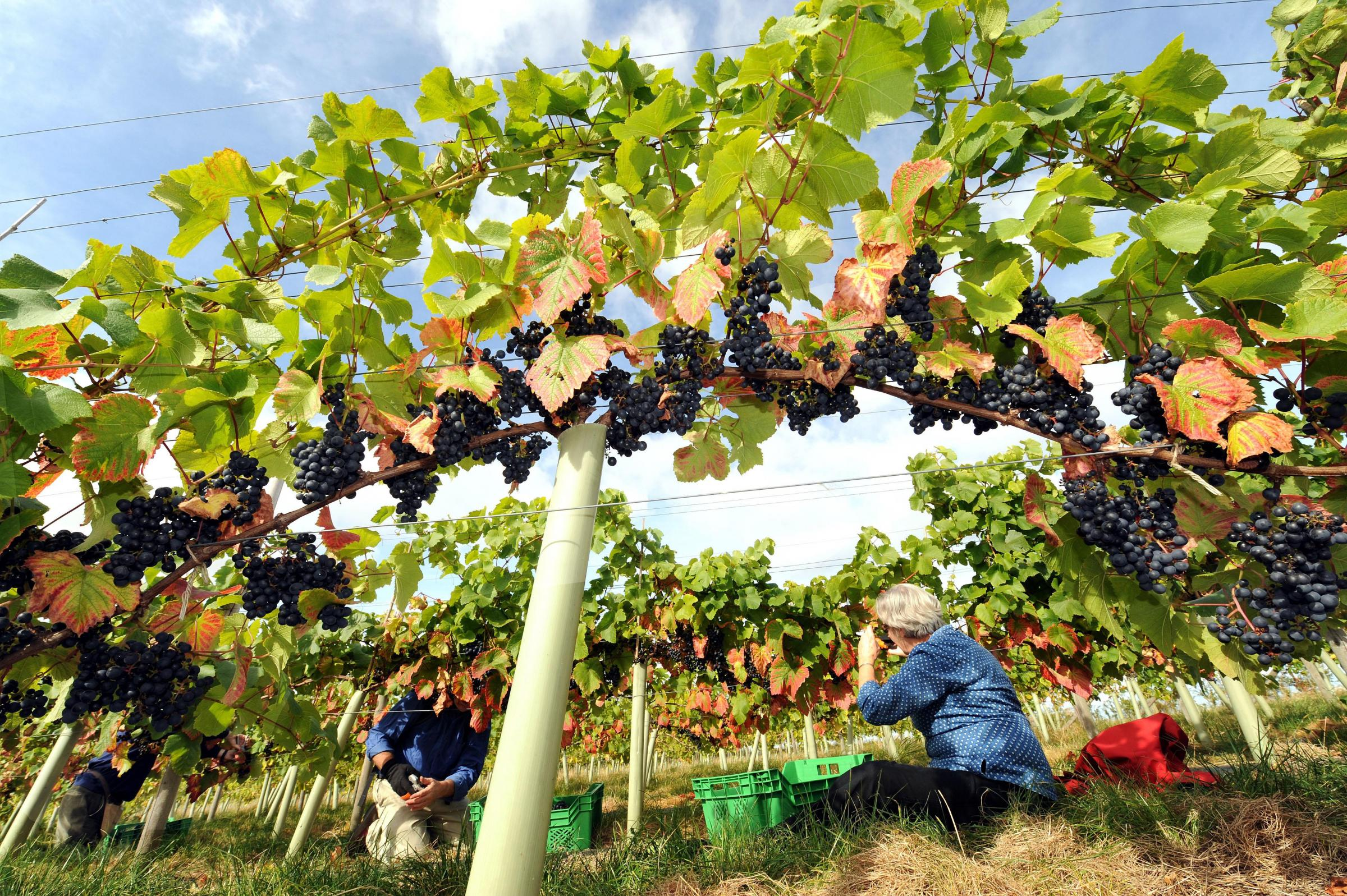 Pickers gather grapes at Ryedale Vineyard in Westow     Picture: John Giles/PA Wire