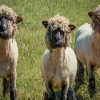 Gazette & Herald: Malton Camera Club: Tony Horsfield took the three sheep that had just been sheared.