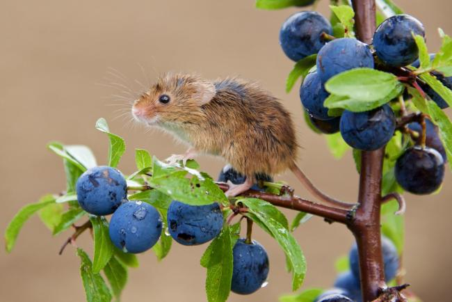 Simon Abbott's picture of a harvest mouse