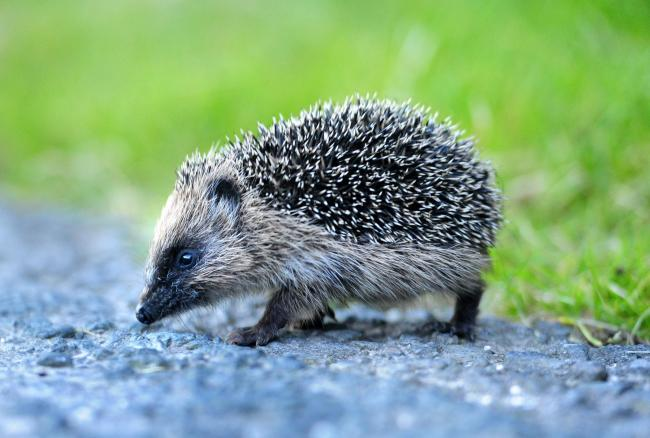 A project has been launched to get people in rural areas to log sightings of hedgehogs in their area     Picture: Anthony Chappel-Ross
