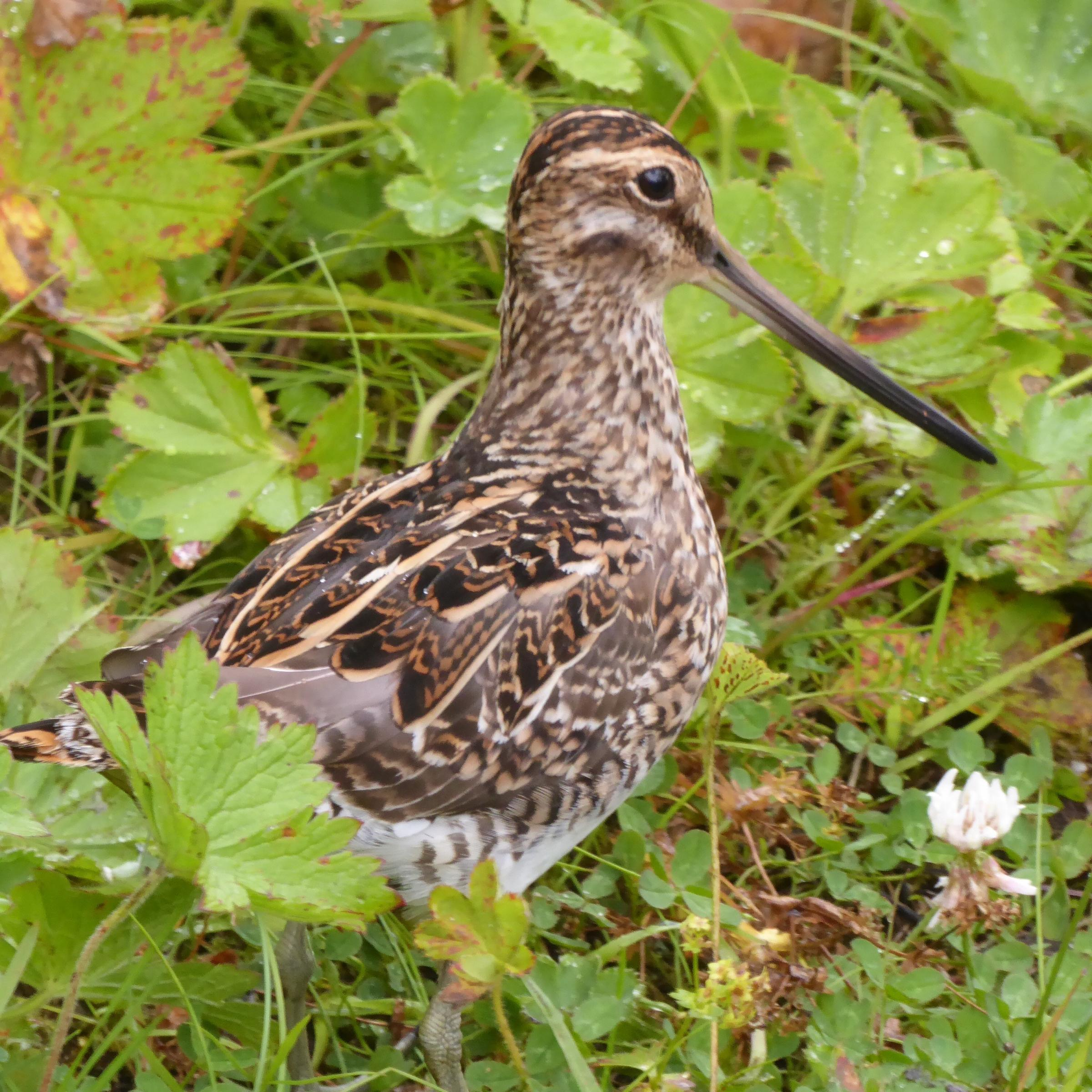 Icelandic snipe showing its distinctive long bill