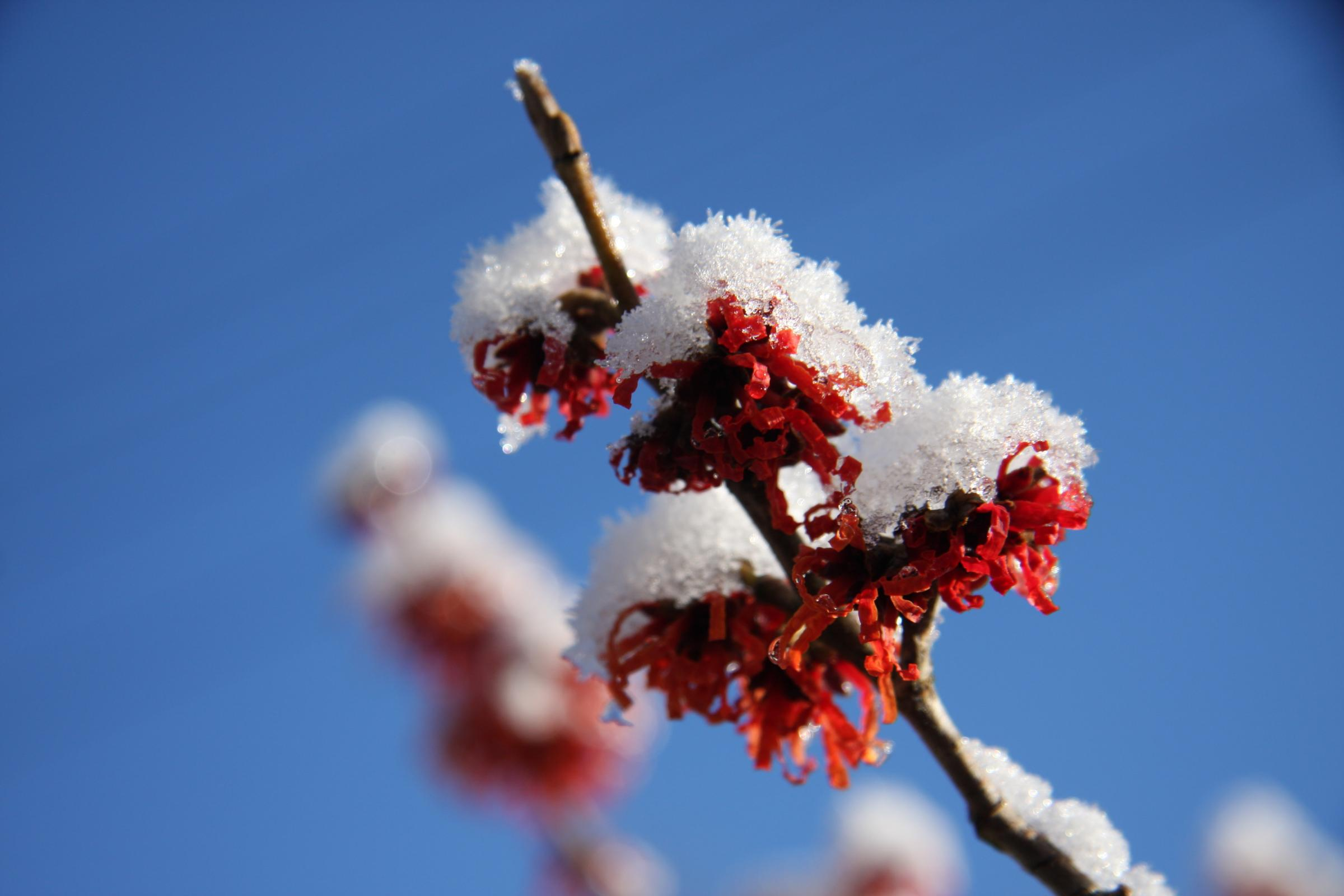 Ice and snow on witch hazel by Sue Cuthbert, Newton-upon-Rawcliffe