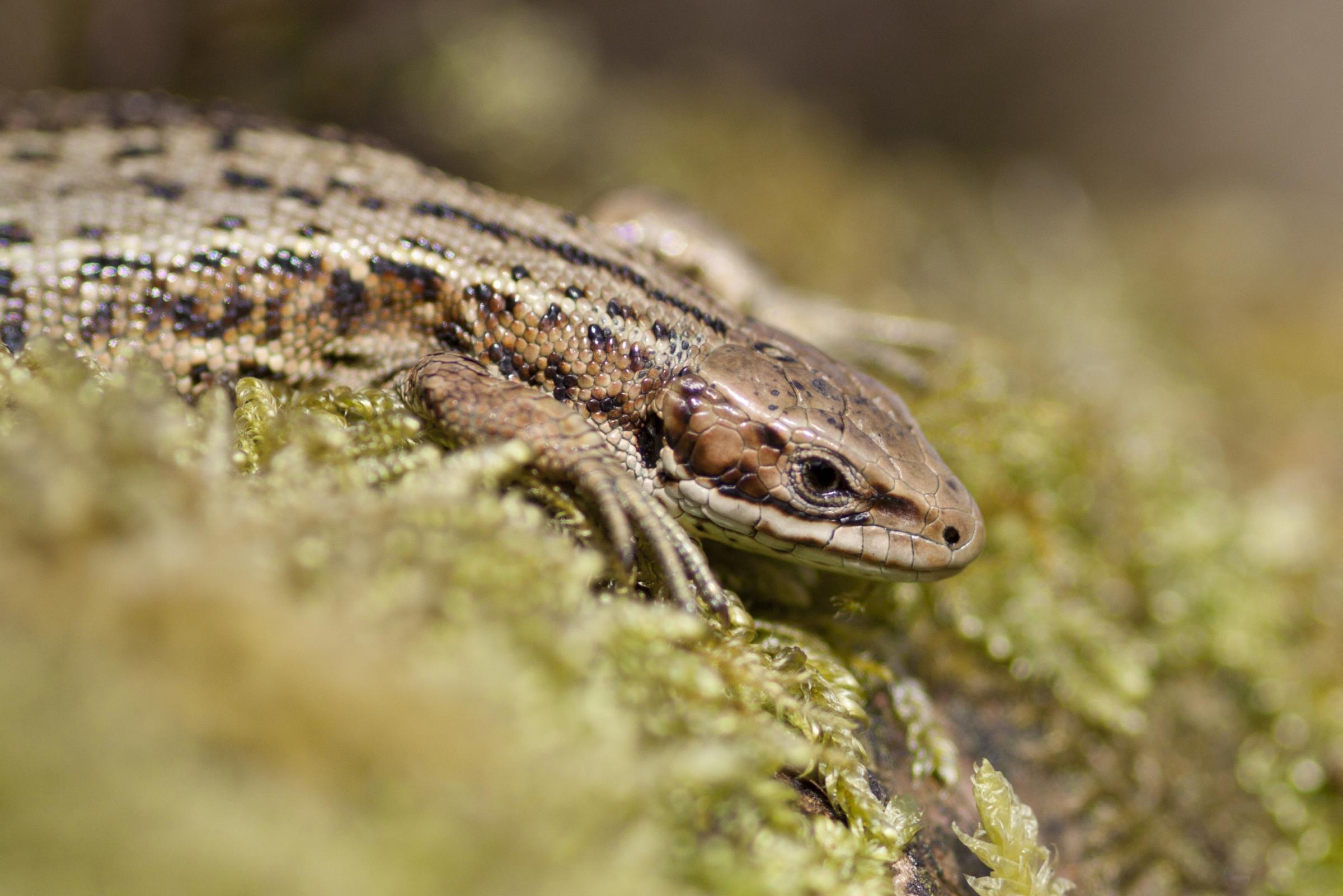 Now is a good time to spot a common lizard in Ryedale      Picture: Tom Marshall