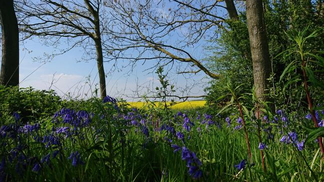 Bluebells from the bridleway near St Mary's Church, Westow    Picture: Pete Lamb